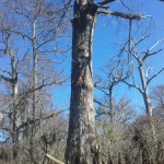 One of the large bald cypress trees in the Three Sisters