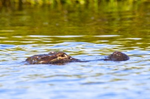 This alligator was seen at the southern tip of Keg Island in the Cape Fear River.